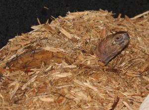 mouhotii turtle
